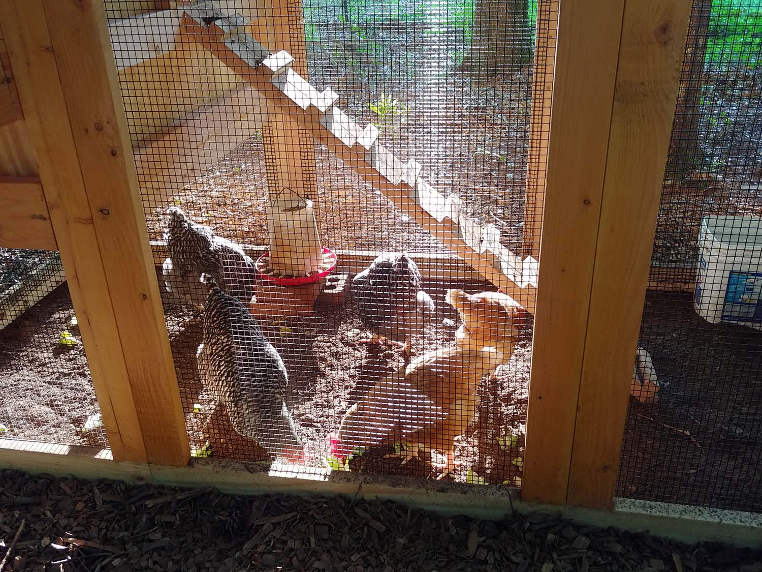 Chickens inside a 4′ x 9′ California Coop in Pine Mountain, Georgia