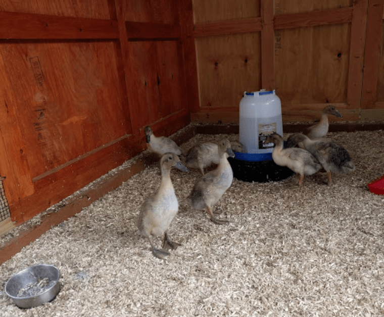 Ducklings enjoying their new custom duck coop with industrial hemp bedding in Freeland, WA