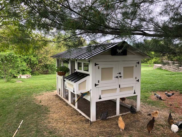 Hens free ranging around a 6′ x 12′ American Coop in Sullivan, Illinois
