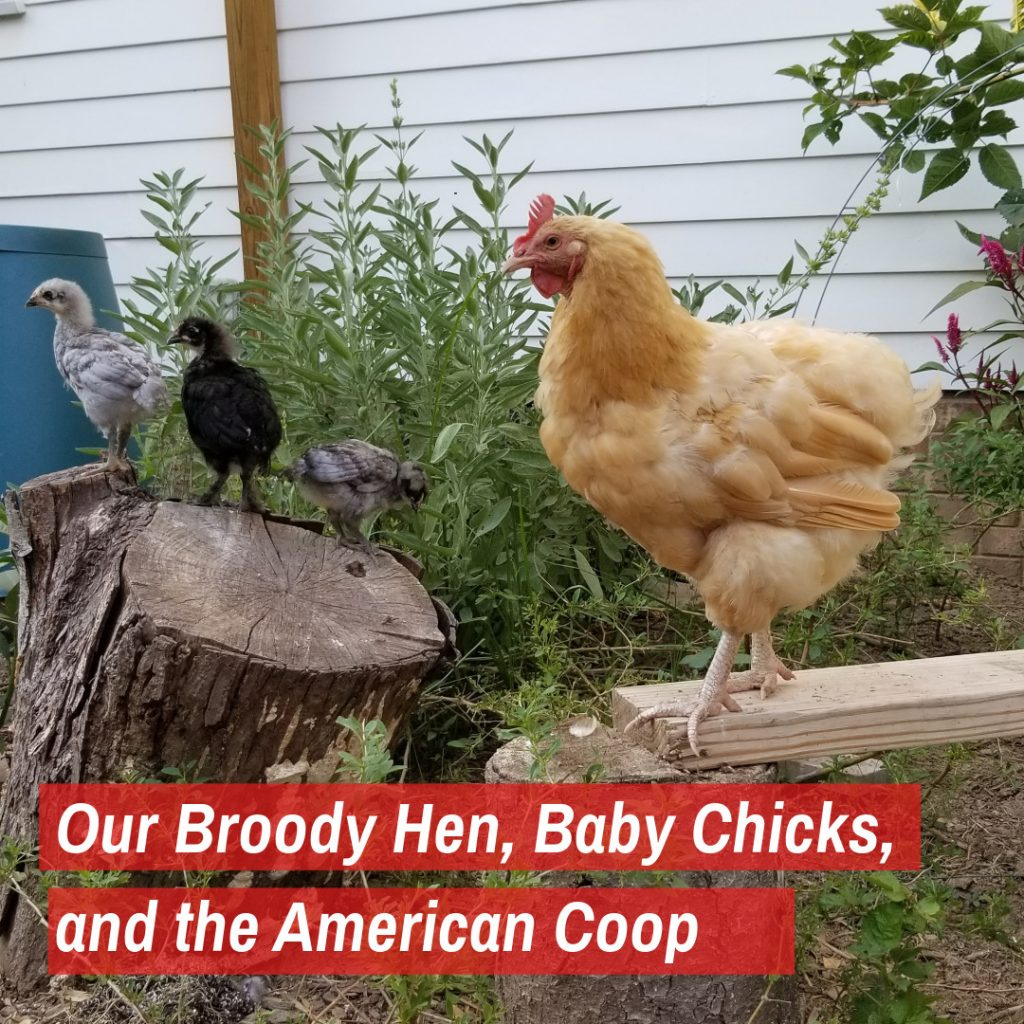 Our Broody Hen, Baby Chicks, and the American Coop