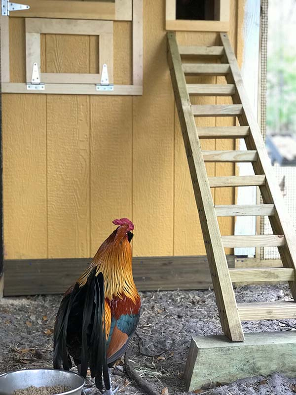 Custom Chicken Run in Orlando, Florida