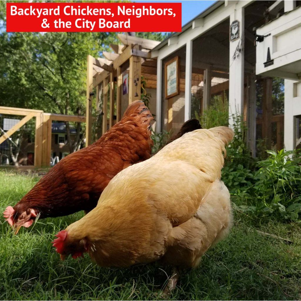 Backyard Chickens, Neighbors, and the City Board