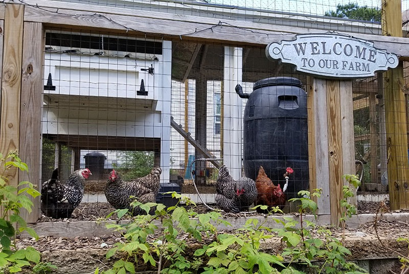 urban chickens are safe inside fenced in area - Carolina Coops
