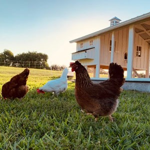 Carolina Coops FAQs about chicken keeping