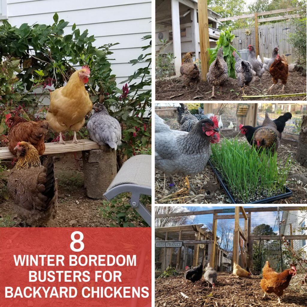 Carolina Coops - 8 Winter boredom busters for backyard chickens