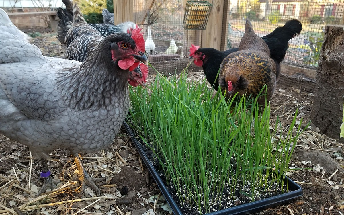Carolina Coops Blog - Grow fodder for extra treats for your chickens in the winter