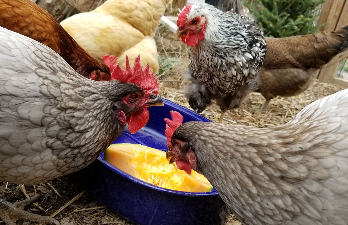 Carolina Coops blog- cut a melon or pumpkin up as extra treats for chickens