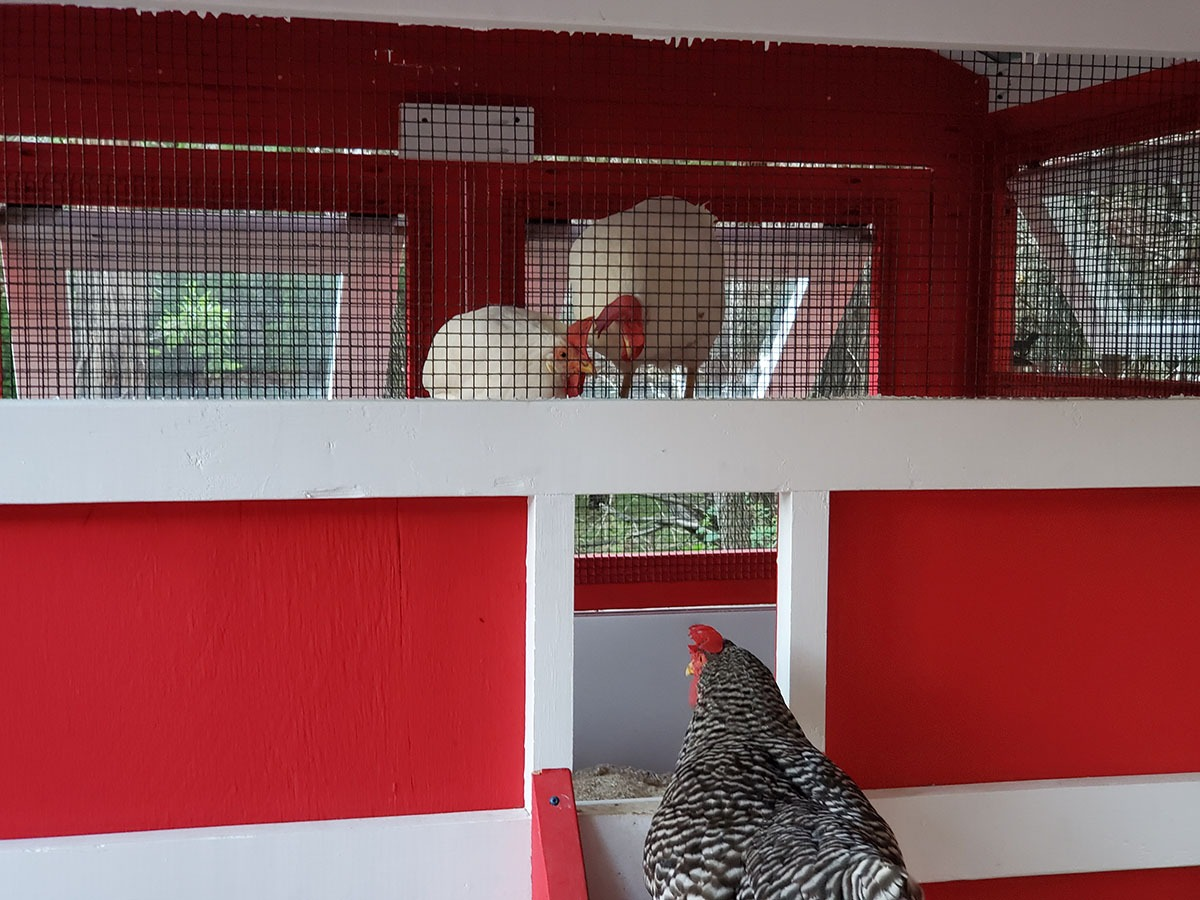 Chickens going up to roost in a 6'x18′ American Coop painted red with white trim