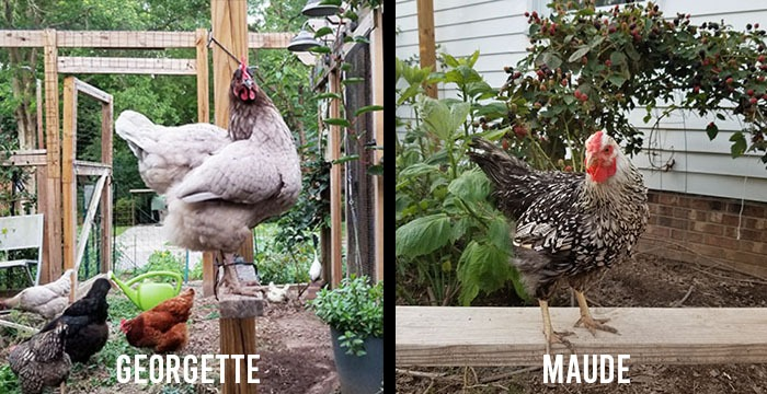 Carolina Coops blog - Dealing with the loss of my chickens - Georgette and Maude