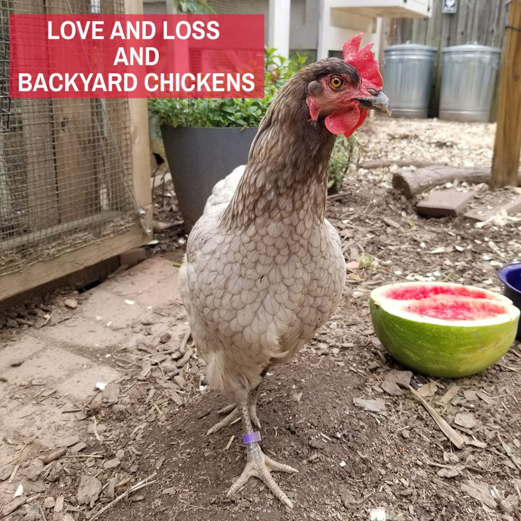 BLOG- love and loss and backyard chickens